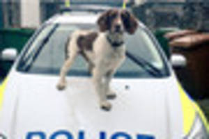 Police drugs dog Charlie tracks down alleged offenders in Torbay
