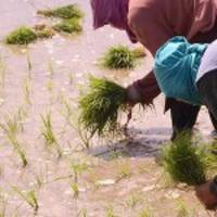Nigeria targets seven million tonnes of rice by 2018