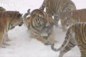 Watch some tigers hunt and partially eat a drone as exercise
