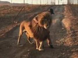 Lion refuses to move until his ranger strokes his mane