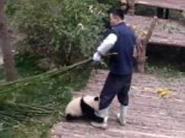 Panda won't let zoo worker go as it clings to his legs