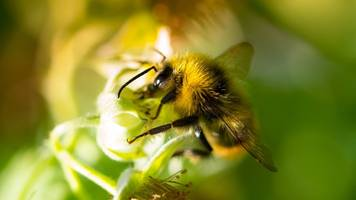 Bumblebees Are Better Problem Solvers Than We Thought