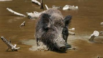 Texas Is Apparently Dealing With An Out-Of-Control Hog Problem