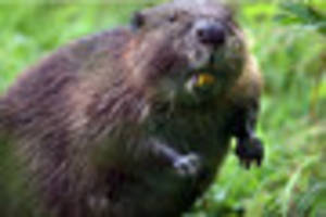 wild beavers could be brought in to stop flooding in the forest...