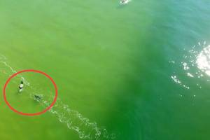 Great white shark approaches surfer waiting for a wave; video