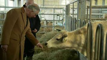 prince charles visits dinefwr park's white park cattle