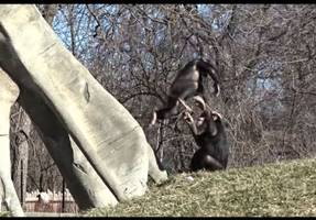 little chimps at detroit zoo love spring: watch video until the end