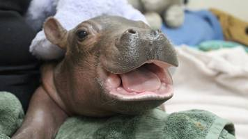 preemie hippo fiona had a scare, but now she's playing in the pool