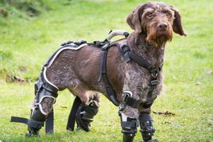 Amputee dog found bound with wire in Ukraine dumpster becomes UK's first ever bionic pet