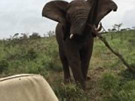 elephant picks up branch and hurls it jeep in south africa