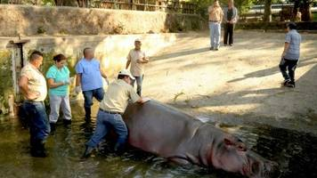 el salvador's much-loved hippo gustavito killed at zoo