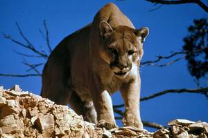mountain lion attacks hunter, mistaking him for a rabbit