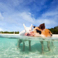 tourists blamed for death of swimming beach pigs in bahamas
