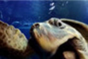 amazing video shows loggerhead sea turtles sensa and mabouche...