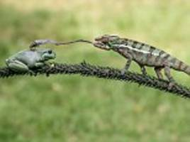hungry chameleon snatches insect off frog's back