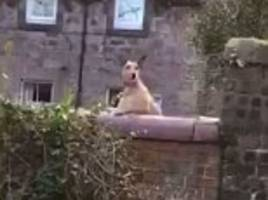 dog peers over a wall as he bounces on a trampoline