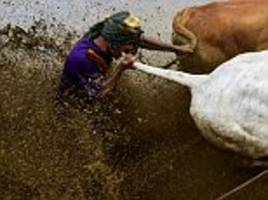 indonesian farmers riding cows race each other