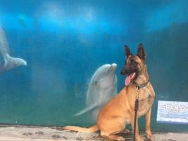 hey, what are you? dolphin checks out german shepherd