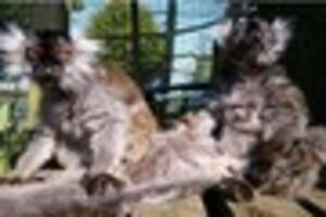 Meet Laura the world's oldest captive lemur who turns 37 and...
