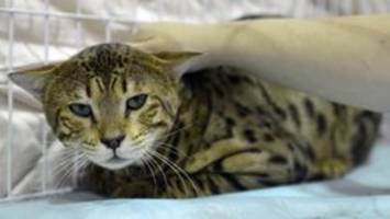 Exotic African hybrid cat roaming New Jersey streets caught