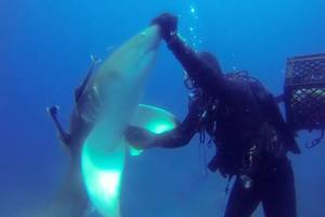 shark appears to be asking diver for help and gets it; video