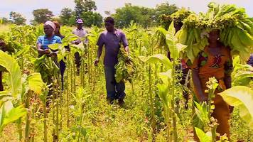 Zimbabwe's cash-strapped tobacco farms