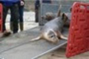 Cornish Seal Sanctuary release five grey seal pups into the wild...