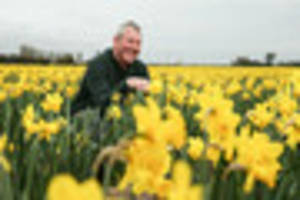lincs grower supplies 480,000 daffs ahead of mother's day