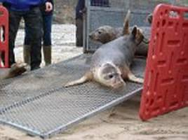 heart-warming moment seals return to the sea in cornwall