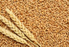 Govt imposes 10 % import duty on wheat, turdal