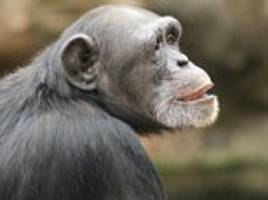 chimpanzees couldn't care less about justin bieber