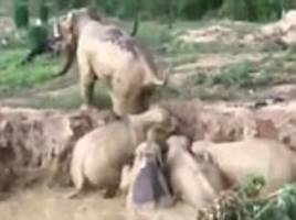 elephants rescued from mud-filled bomb crater in cambodia