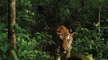Tiger Cub Discovery Gives Researchers Hope For This Endangered Species
