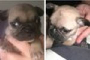 essex police hunting for two french bulldog puppies stolen from a...