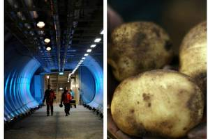 doomsday vault secures future of the potato thanks to scots scientists