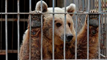 mosul battle: abandoned lion and bear rescued from zoo