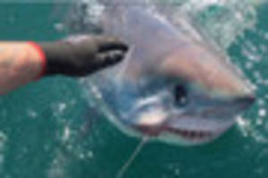 Another massive shark caught off the South West coast