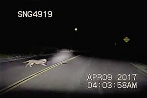 mountain lion chases deer back and forth across road in front of deputy; video