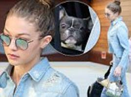 gigi hadid carries zayn malik's french bulldog