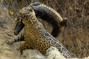 here's nat geo wild's fall slate – and insane footage of a jaguar hunting a crocodile (exclusive)