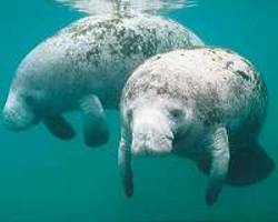 Florida manatees likely to persist for at least 100 years