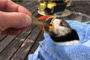Watch injured puffin being hand fed after it was rescued