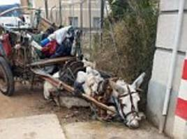 exhausted donkey collapses while dragging cart