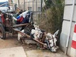 donkey collapses while dragging loaded cart in spain