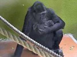 zookeepers celebrate as a gorilla is born in britain