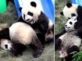 adorable baby panda twins tussle around in china