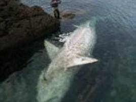 Monster 25ft dead shark washes up on Cornish coast