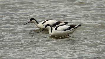 rare waders have birdwatchers in a flap