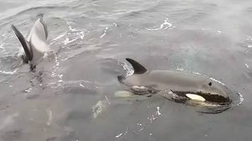 Killer whales surface inches from shore in Shetland