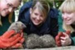 looking sharp! hedgehogs nursed backed to health by derby...